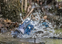 Blue Jay Bathing In A Stream In Central Park