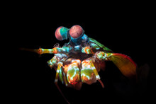 Colorful Mantis Shrimp With Co...