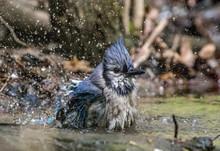 Blue Jay Bathing In A Stream I...