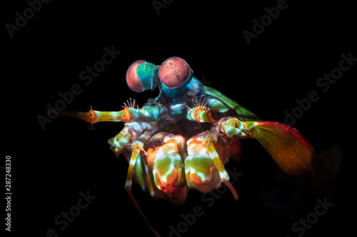 Obraz na plátně  Colorful Mantis Shrimp with Complex Eyes