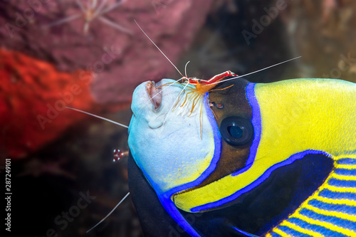 Photo Emperor angelfish being cleaned by shrimp