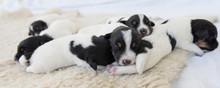 Cute Jack Russell Terrier Puppy Dogs 12 Days Old. A Litter Of Doggys Lie Next To Each Other And Sleep.