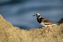 Adult  Ruddy Turnstone Arenari...