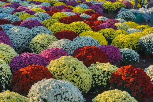 Kolorowe Bukiety Chryzantem Doniczki Z Kwiatami Barwne