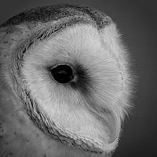 Barn Owl Profile Portrait, Ext...