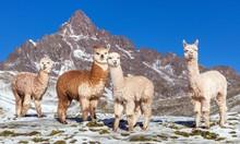 Llama Or Lama, Andes Mountains,