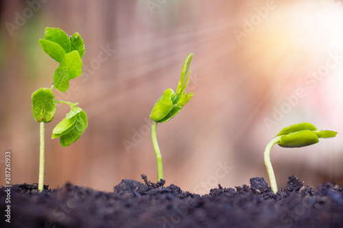 Seed plants are growing Tablou Canvas