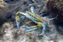 A Wary Blue Crab (Callinectes ...