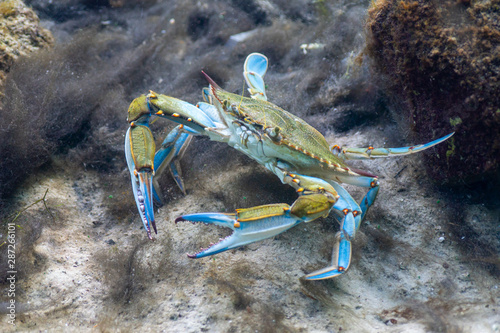 A wary Blue Crab (Callinectes sapidus) scours the bottom of a sandy beach in shallow water searching for food Canvas-taulu