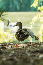 One Female Duck Near The Pond ...