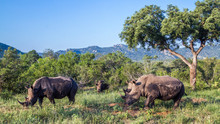 Southern White Rhinoceros In K...
