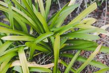 Bush Of Green Agapanthus Leaves