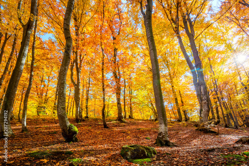 Fototapety, obrazy: Autumn forest background with sun and vibrant leaves
