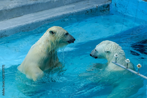 Poster Turquoise Sibling wrestling in baby games. Two polar bear cubs are playing about in pool. Cute and cuddly animal kids, which are going to be the most dangerous beasts of the world