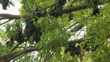 A Daylight Medium Shot Of A Group Of Fruit Bats Also Known As Flying Foxes Hanging Upside Down On Leafy Tropical Tree Branches.