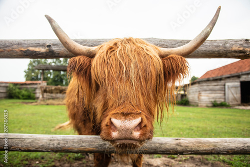 Fototapeta Highland cattle sticking his head through the fence, close up obraz
