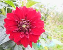 Red Flower Close-up, Dahlia In The Garden
