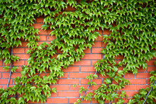 Red Brick Wall With Ivy (edera - Ivy And Parthenocissus - Virginia Creeper)