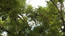 A Medium Shot With Tilt Upward View Of Flying Foxes Also Known As Fruit Bats Hanging Upside Down On Leafy Tropical Tree Branches On Broad Daylight..
