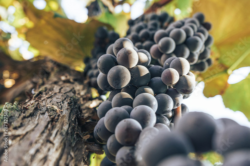 Bunch of blue grapes on a growing grapevine background. Canvas Print