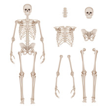 Human Skeleton. Body Parts Sku...