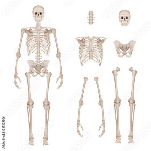 Leinwand Poster Human skeleton