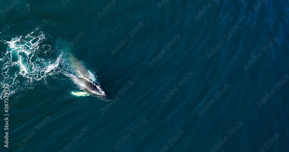 Fototapeta Aerial view of huge humpback whale, Iceland, Europe.