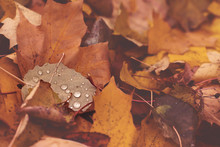 Fallen Leaves With Rain Drops In Autumn. Seasonal Misty Background In Dark Tones. Top View, Close-up