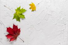 Three Vibrant Maple Leaves Of ...
