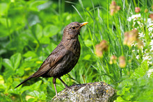European Female Blackbird Standing On A Rock In The Garden