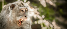 Screaming Monkey. Face Of Wild Animal Showing Its Fangs