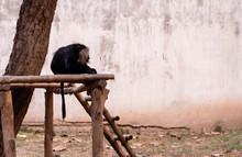 Hamadryas Baboon - A Species O...