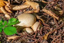Common Earthball Fungi Scleroderma Citrinum A Round Ground Woodland Mushroom On Forest Floor Between Beech Autumn Leaves