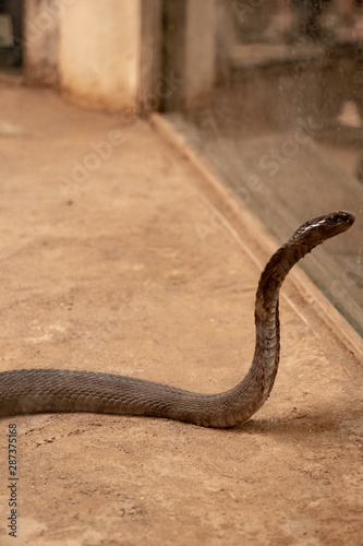 Fényképezés The King Cobra or Ophiophagus hannah standing with hood and looking towards the