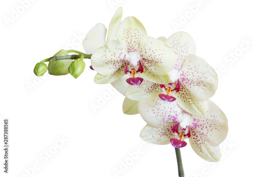Fotobehang Orchidee orchid