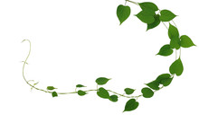 Twisted Jungle Vines Liana Plant With Heart Shaped Green Leaves Nature Frame Layout Isolated On White Background, Clipping Path Included.
