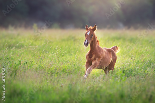 Fotomural  Beautiful red foal run and fun on spring green sunrise field