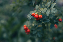 Red Wild Rose Hips With Green ...