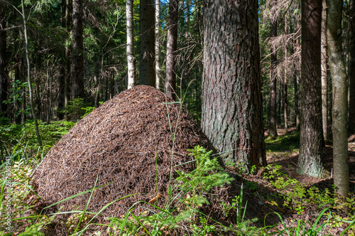 anthill under the sun in a pine forest Canvas Print