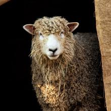 Simply Beautiful Sheep Enjoyin...