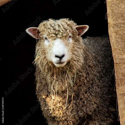 Autocollant pour porte Sheep simply beautiful sheep enjoying summer day