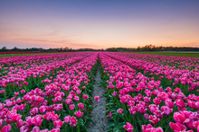 Tulip Fields Around Lisse, South Holland, The Netherlands