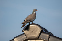 A Portrait Of A Pidgeon At The Very Top Of The Ridge Of A Roof. The Rood, Where The Bird Is Sitting On, Is Made Out Of Roof Tiles.