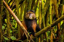 Golden Monkey In Volcanoes National Park, Rwanda