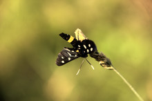 Amata Phegea, Formerly Syntomis Phegea; The Nine-spotted Moth Or Yellow Belted Burnet, Dorsal View Of Female