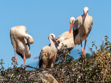 White Storks (Ciconia Ciconia), Nesting On The Top Of Fruit Trees, Algarve, Portugal