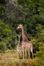 Giraffes On Safari In South Africa, In A Private Game Reserve