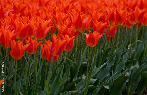Foto auf AluDibond Tulpen Field with tulips Netherlands. Dutch landscape/ Agriculture/ Bulbs
