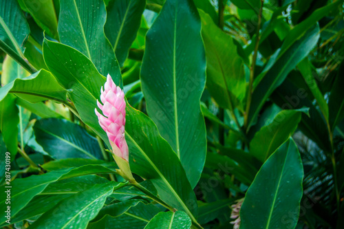Pink tropical cone flower