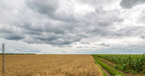 Fotomurales - Cloudy sky and rural road passing between field yellow wheat and green field sunflower, panoramic view. Beautiful scenic dynamic landscape agricultural land, 4K time lapse. Beauty nature, agriculture.